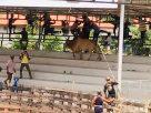 ชอบแทงดีนัก แทงคืนมั่ง! วัวชนหลุดสนาม วิ่งไล่แทงเซียนพนัน หนีตายอลหม่าน
